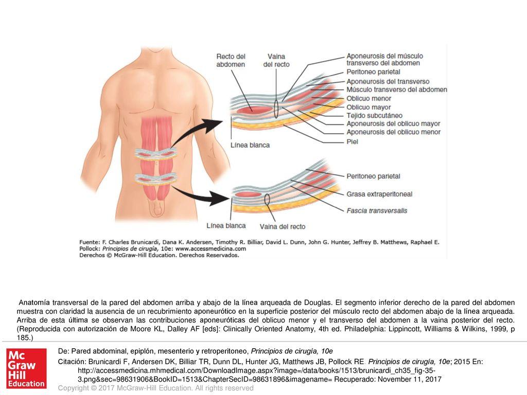 Atractivo Anatomía Línea Arqueada Viñeta - Imágenes de Anatomía ...